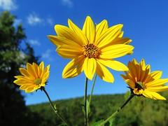 fuochi d'artificio.... vegetali! (givanna) Tags: fiori cielo celeste azzurro giallo