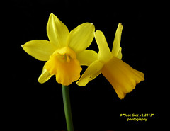 Yelow special Flowers on black. Narcisos (Pepe (ADM)) Tags: flowers black flower nature ngc flor special yelow fiori narciso onblack narcisos fleure yelowflowers mygearandme rememberthatmomentlevel1 flowerthequietbeauty