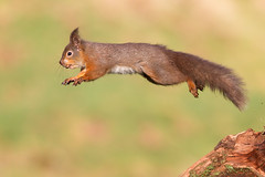 Leap of Faith (birdtracker) Tags: jumping hide leaping alans dumfriesgalloway redsquirrel hazelnuts markmedcalf markmedcalfphotography