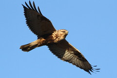 Rough-Legged Hawk (Paridae) Tags: hawk birdsofprey roughleggedhawk buteolagopus buteo birdsofbc birdsofboundarybay