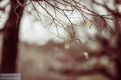 When it turns to rain (dina bennett) Tags: trees nature wet rain sticks bokeh montreal branches citylife 85mm urbannature twigs damp winterrain dinabennett