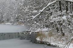 Folaga in mezzo al ghiaccio e la neve - Lago di Levico (LaiterAB) Tags: lake snow ice lago neve coot ghiaccio levico folaga panasonicdmclx5