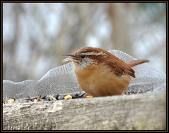 Sweet Carolina Wren (Photographic Poetry) Tags: winter bird nature seasons wren sweetcaroline neildiamond carolinawren flickraward nikonflickraward blinkagain