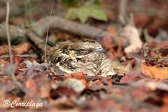 Chotacabras Rabudo (Caprimulgus climacurus) Long-tailed Nightjar (Corriplaya) Tags: birds aves gambia caprimulgusclimacurus longtailednightjar chotacabrasrabudo corriplaya