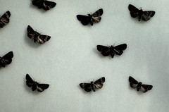 Moths (iamamyjeansmith) Tags: butterfly grey moth museam