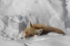 Red Fox (Daryl L. Hunter - The Hole Picture) Tags: usa unitedstates redfox grandtetonnationalpark