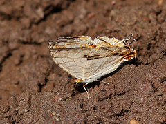 Common Map (chaz jackson) Tags: butterfly insect lepidoptera common nymphalidae mapwing thyodamas cyrestes