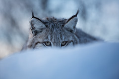 I got my eye on you! (nemi1968) Tags: winter portrait snow closeup cat canon ngc lynx gaupe langedrag catfamily eurasianlynx ef70200mmf4lisusm