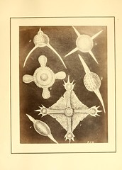 n24_w1150 (BioDivLibrary) Tags: barbados radiolaria harvarduniversitymczernstmayrlibrary polycystidafossil protozoafossil bhl:page=9995967 dc:identifier=httpbiodiversitylibraryorgpage9995967 fossilstories