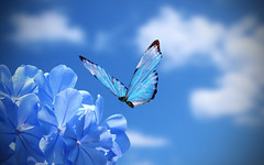 Shades of Blue (Bob__Gilmour) Tags: blue cloud flower beauty butterfly fly focus pov miracle flight depthoffield shadesofblue blinkagain photographyforrecreationeliteclub rememberthatmomentlevel4 rememberthatmomentlevel1 rememberthatmomentlevel2 rememberthatmomentlevel3 rememberthatmomentlevel5