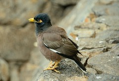 Myna Bird [Explored] (SandyK29) Tags: bird nature stone wall hawaii wildlife feathers maui explore kaanapali mynah explored mynahbird nikond800