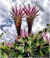 3109-Flor de Cactus en Oleiros (Coruña)