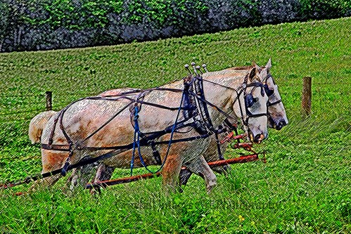 Amish Workhorses