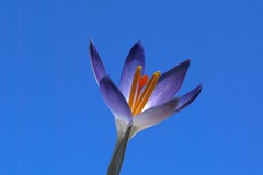 Crocus flower - Amsterdam (IvoMathieuGaston) Tags: color colors colour colours nikon d200 amsterdam crocus flower spring 2013 blue purple yellow orange grey black white petals pollen sky macro park erasmuspark nikonflickrawardgroup auniverseofflowersgroup dutchnaturegroup flickrunitedgroup minimalflowersgroup flickrstarsgroup simplysuperbgroup colourartawardsgroup naturestylegroup flowersmacroworldgroup floralfantasiagroup flowerloversgroup naturewatchinggroup flowersonflickrgroup naturegroup wonderfulworldofflowersgroup flowerwatchinggroup naturegreenstargroup perfectpetalsgroup beautifulshotgroup theflowerbasketgroup planetearthflowersgroup nederlandgroup elaromadelasfloresgroup natureisallgroup catchycolorsgroup colorsoftheworldgroup flickrsbestgroup florebotaniquegroup flowerbotaniquegroup themagicofcolourgroup naturephotographygroup