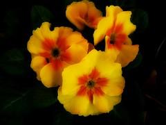 To Brighten my dull day. (♥ Katie ann. Off more than on.) Tags: primula amazingdetail addictedtoflower fleursetpaysages silveramazingdetail flowerthequietbeauty