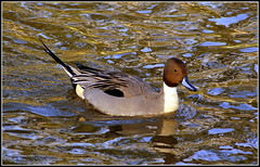 Anas acuta (* RICHARD M (OVER 6.5 MILLION VIEWS)) Tags: lake reflection bird nature water duck wildlife parks ducks ripples ornithology southport merseyside pintail northernpintail sefton anasacuta publicparks heskethpark