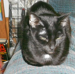Another Fine Catloaf (Mr. Ducke) Tags: cat kitty catloaf parsnip