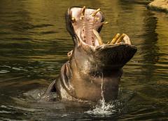 Wasserballett (Seahorse-Cologne) Tags: hippo nilpferd photomix hippopotame hipopótamo カバ wonderfulphotos 河马 하마 suaygırı goldendragonaward гиппопотам היפו فرسالنهر 1001magiccity mygearandme blinkagain allofnatureswildlifelevel1 rememberthatmomentlevel4 rememberthatmomentlevel1 rememberthatmomentlevel2 rememberthatmomentlevel3 me2youphotographylevel2 me2youphotographylevel3 me2youphotographylevel1 vigilantphotographersunite vpu2 vpu3 vpu4 vpu5 vpu6 vpu7 vpu8 vpu9 हिप्पो