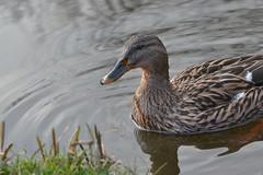 """Mallard duck """"Anas platyrhynchos"""" (Nano Second Artist) Tags: nature duck nikon wildlife d3100 uploaded:by=flickrmobile flickriosapp:filter=nofilter"""