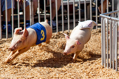 Run Pig, Run (OutlawMenacePhotography) Tags: county festival race hair festive pig bacon spring funny riverside loser fair racing pork national pigs winner date oink squeal