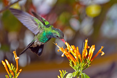 IMG_6380 Broad-billed Hummingbird on Patio (lois manowitz) Tags: arizona birds tucson hummingbirds