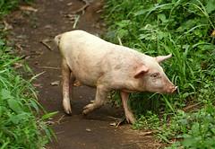 Pig On Our Trail (cowyeow) Tags: africa baby cute piggy happy pig village sweet hiking farm african young ham farmland follow trail curious uganda hog livestock following rwenzori rwenzorinationalpark