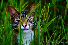 Jungle (LiveLifeToItsFullest) Tags: pink light red sky brown sun white black color colour reflection green grass animal cat dark photography photo aperture afternoon shot eating kitty sunny jungle shutter shutterspeed aperature hideing eatinggrass chrismcmahon cateatinggrass canont4i cathideing