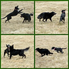 Lexy and Marcy having a blurry blast... (karen&2mutts) Tags: marcy blackandwhitedog lexy bordercolliemix dalmationmix playingdogs