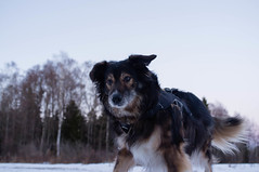 You Actually Hid It? (Roy Sieh) Tags: dog teddy x100 larkollen medgrdskogen