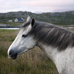 "Lonely Connemara Pony <a style=""margin-left:10px; font-size:0.8em;"" href=""http://www.flickr.com/photos/89335711@N00/8596676158/"" target=""_blank"">@flickr</a>"