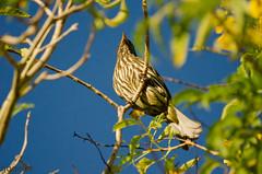 Cigua Palmera (Gogolac) Tags: ciguapalmera dulusdominicus palmchat