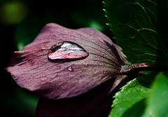 A drop of life.Explored (Omygodtom) Tags: park macro green art nature rain digital nikon purple bokeh pdx tamron90mm d7000