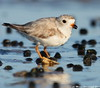 Young plover (v4vodka) Tags: bird nature animal wildlife birding longisland birdwatching plover pipingplover charadriusmelodus westmeadowbeach pipingploverchick sieweczka siewka