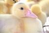 ... (Carolina Seidl) Tags: people dogs birds restaurant pessoas restaurante ducks aves chick cachorros pássaros patos pintinhos fazendadacomadre