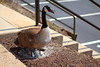Goose and Her Eggs (wmliu) Tags: egg hatch creature canadagoose hatching wmliu