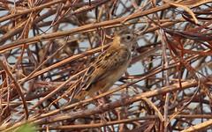 Th13_05280a (jerryoldenettel) Tags: bird thailand passeriformes cisticolajuncidis zittingcisticola cisticola passerine 2013 cisticolidae bangtaboon bangtaboonmarshes