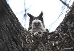 """Great Horned Owl"" ""Bubo virginianus"" (jackhawk9) Tags: nature birds canon newjersey wildlife ngc palmyra raptors owls birdsofprey greathornedowl bubovirginianus palmyracovenaturepark jackhawk9"