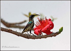 3023 - purple sunbird feeding on bombax flower (chandrasekaran a 546k + views .Thanks to visits) Tags: flowers trees india nature birds eos bom chennai sunbird cottontree purplesunbird tamron200500mm bombaxceiba canon60d blinkagain