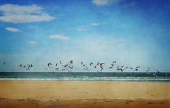 """Se asustaron todas (las """"casi cien"""")..... menos una.... (Geli-L) Tags: textura mar playa gaviota cantábrico penarronda"""