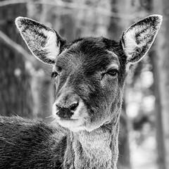 skeptic deer
