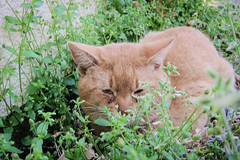Today's Cat@2013-04-18 (masatsu) Tags: cat canon catspotting thebiggestgroupwithonlycats powershots95