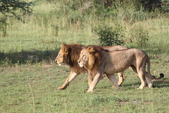 Two lions going out for a hunt (wai-photography) Tags: park two canon eos nationalpark lion falls safari national uganda murchison lwe 60d