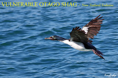 (#798) Vulnerable Otago Shag - [ Dunedin, New Zealand ] (tinyfishy's World Birds-In-Flight) Tags: bird inflight flying vulnerable otago shag steward island endemic dunedin new zealand