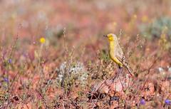 Gibberbird (chrissteeles) Tags: gibberbird chat bird birding birdsvilletrack outback southaustralia sa