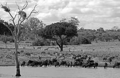 Kruger NP, South Africa (Joshua Daskin) Tags: wildlife africa canon 60d 100400 southafrica roadtrip animal safari savanna ecology biology kruger national park