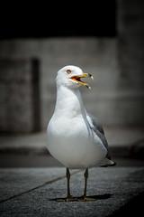 Urban Gull (AxelBergeron) Tags: gull seagull goland mouette bird birds oiseau oiseaux montreal urban wildlife downtown montrealdowntown animal sonya5000 a5000 sel55210