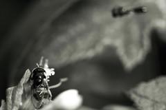 Spaijour (Eric Gitonga) Tags: 40x60 ericgitonga kenya nature macro arthropods phylum kingdom arthropoda animal animalia segment segmented head abdomen legs mouth eyes compoundeye simpleeye instar exuvia moult exoskeleton grow develop misunderstood stinger sting egg fertilization sperm female male nairobi njathaini pickengardensestate northernbypass insect insecta thorax 6legs sixlegs wings flight crawl antenna