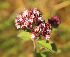 Forest bloom (ekaterina alexander) Tags: forest bloom origanum marjoram wild flower flowers wood woodland ekaterina england alexander sussex nature photography pictures summer edible herb