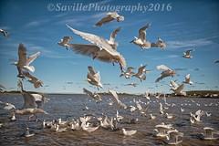 AAB_2506s (savillent) Tags: tuktoyaktuk northwest territories canada family summer water north arctic lifestyle seagulls birds fishing photography nikon climate july 2016