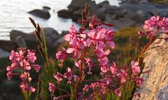 Fireweed, lakeside (Jeff Goddard 32) Tags: highsierra sierranevadamountains california inyocounty wildflowers muriellake alpine fireweed chamerionangustifolium